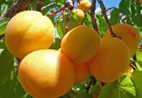 Рецепты самогона и других напитков из абрикосов